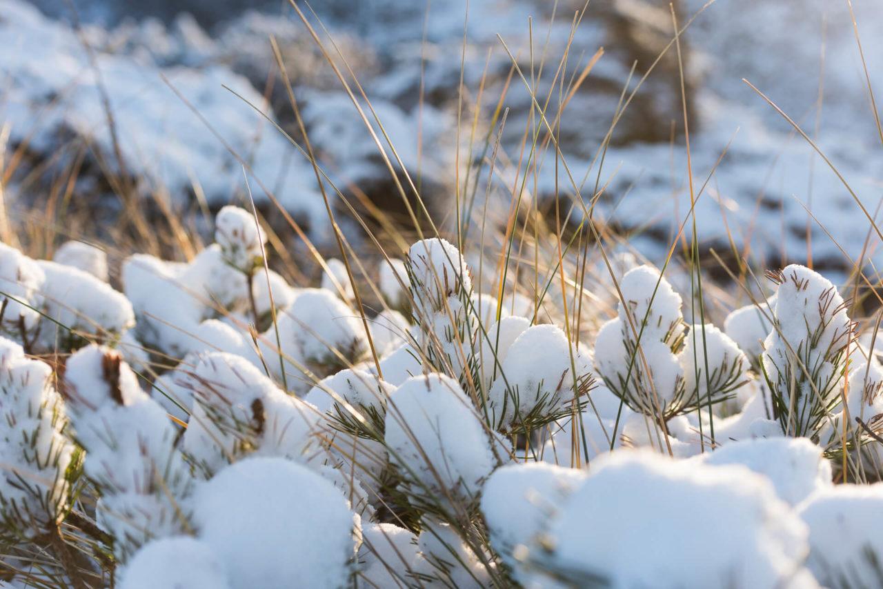 Foto von der Fotostory Redeleit und Junker zeigt schneebedeckte Zweige einer Tanne