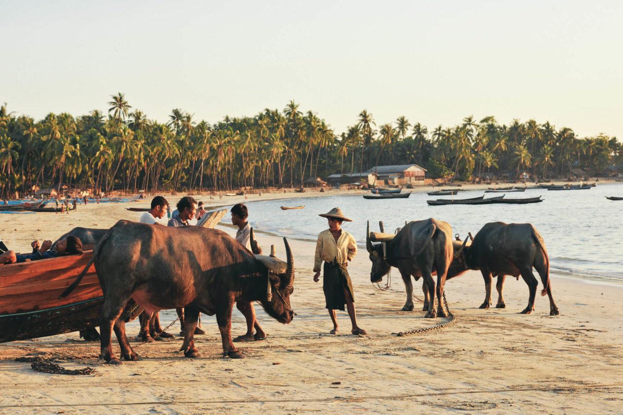 Rinder Strand Fotostory von Redeleit und Junker - Zugtiere und Einwohner in Burma